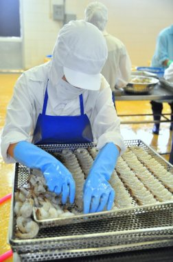 Tra Vinh, Vietnam - November 19, 2012: Workers are rearranging peeled shrimp onto a tray to put into the frozen machine in a seafood factory in the mekong delta of Vietnam