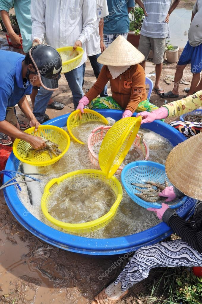 Bac Lieu, Vietnam - November 22, 2012: Vietnamese farmers are grading shrimps after harvesting from their pond before selling to processing plants in Bac Lieu city