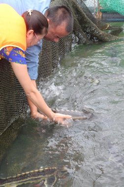Lam Dong, Vietnam - September 2, 2012:  The farming sturgeon fish in cage culture in Tuyen Lam lake. Several species of sturgeons are harvested for their roe, which is made into caviar, a luxury food