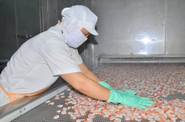 Nha Trang, Vietnam - March 5, 2012: Workers are arranging shrimps in a line to the freezing machine in a seafood factory in Vietnam
