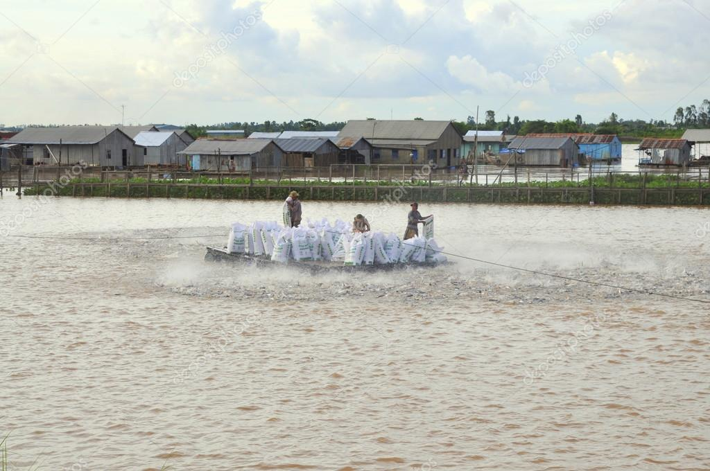 An Giang, Vietnam - August 25, 2011: Farmers are feeding pangsius catfish in their pond in the mekong delta of Vietnam