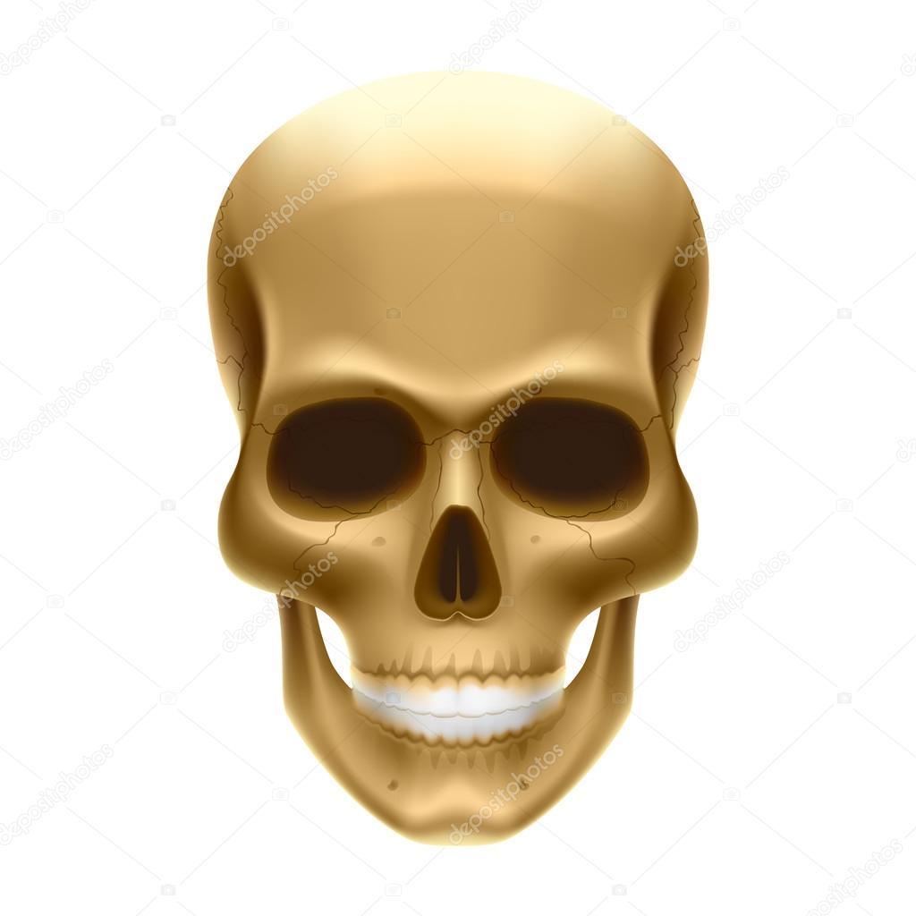 cráneo humano en blanco — Vector de stock © Alhovik #69938253