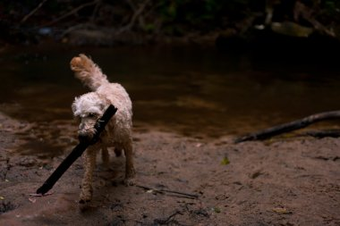 Dog fetching a big stick at a waterfall pool