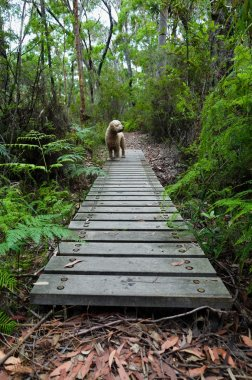 Dog crossing boardwalk in rainforest