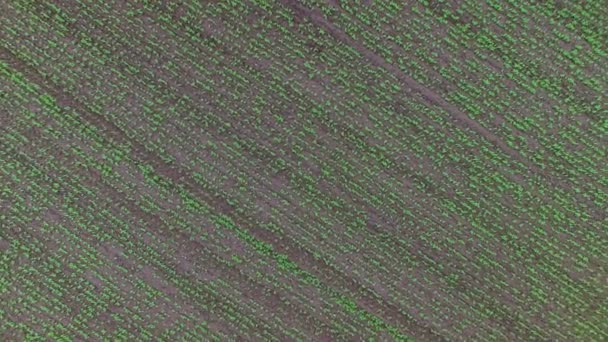 über das Feld der grünen Erbsen fliegen