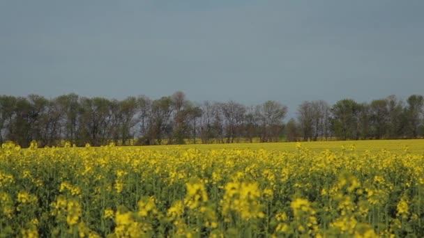 pole žluté květy