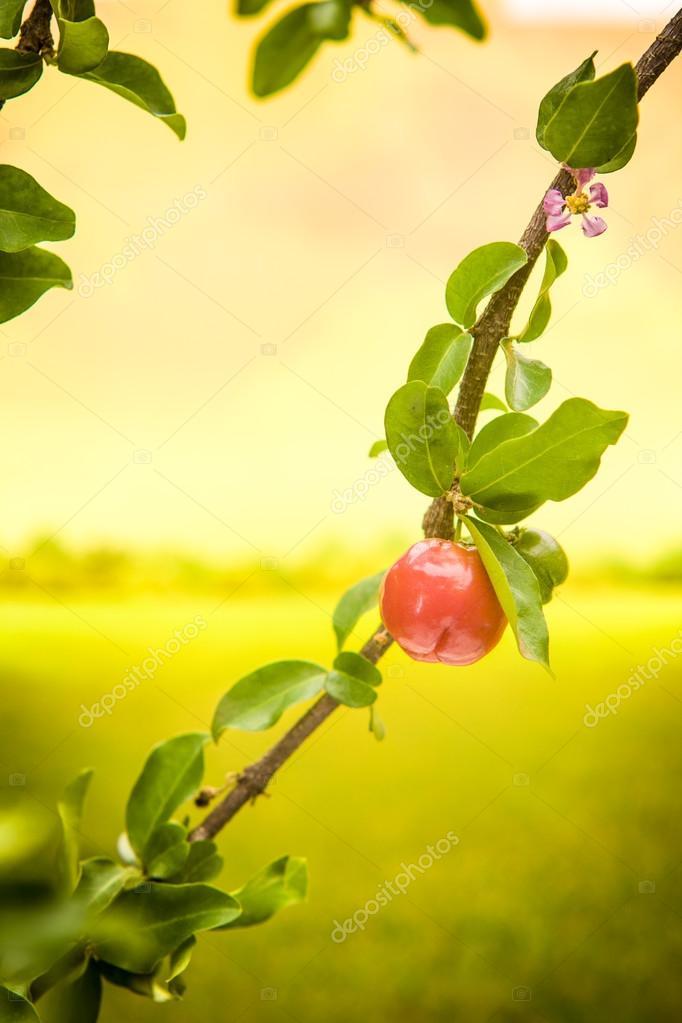 Acerola small cherry fruit