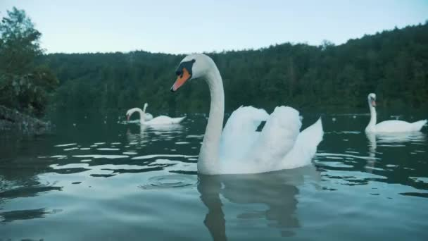 A group of swans on a lake. Swan Family
