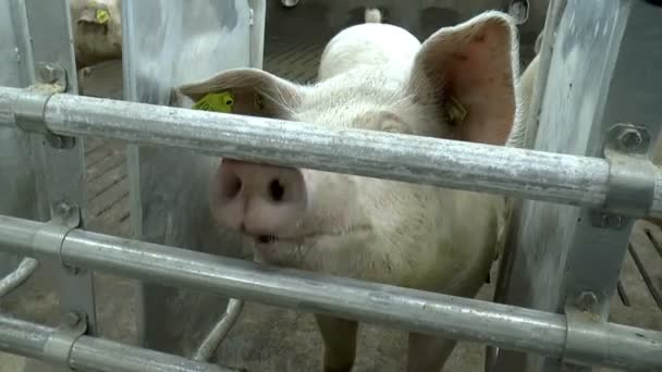 Bauernhof für Zuchtschweine.
