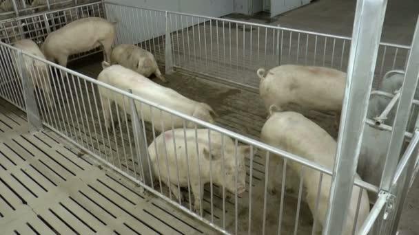 Farm for breeding pigs.