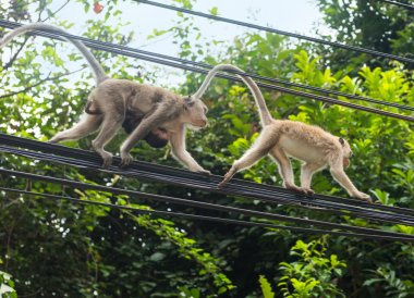 Monkeys at the electrical wires, Thailand