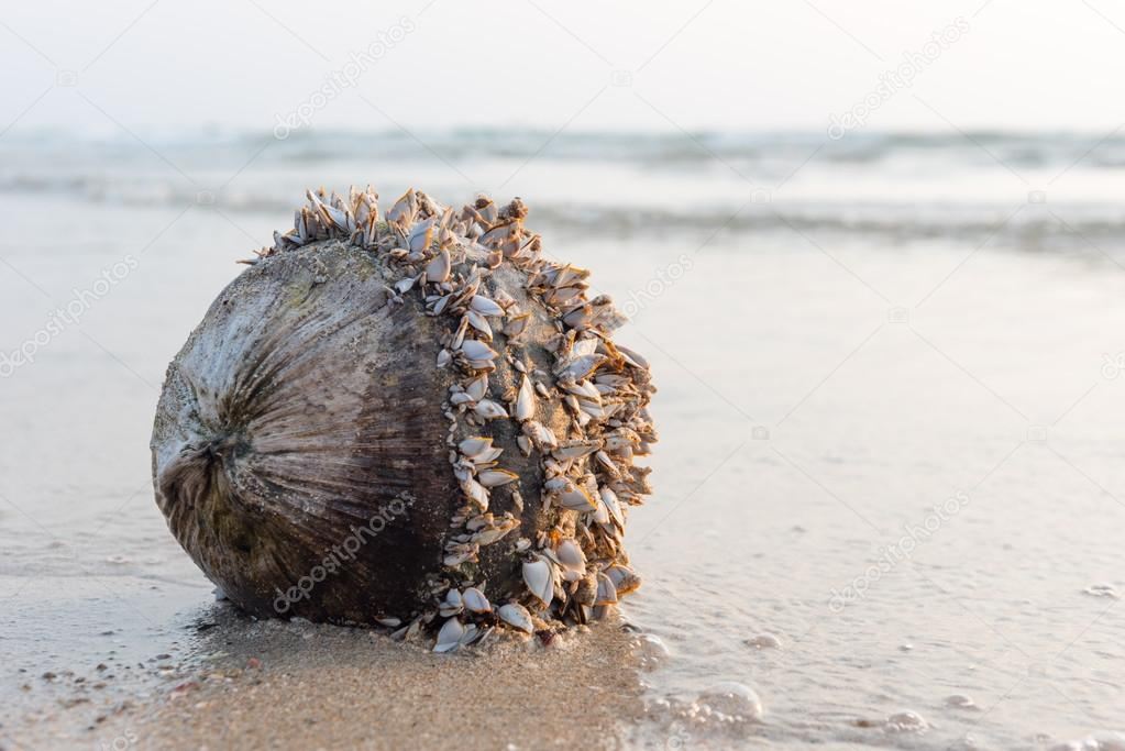 coconut with shells at the sea