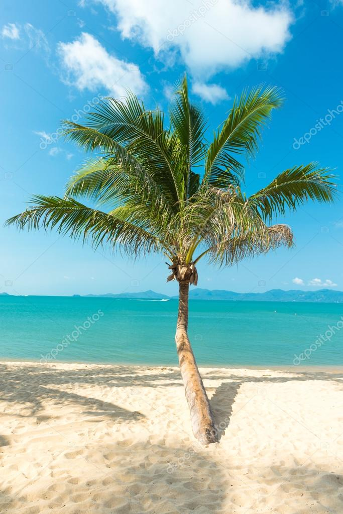Palm at sand beach of Samui island