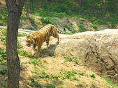 Bílý tygr v zoo