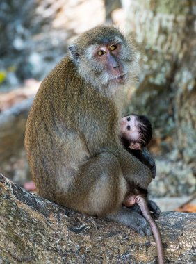 Monkey and the cub on tree