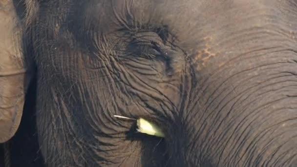 Sumatran slon klapky ucho při jídle bambusové větve, Pomalý pohyb zavřít