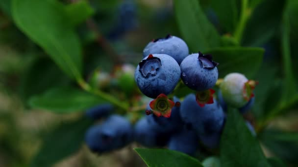 A small bunch of blueberries collects rain drops on the bush. Raindrops splatter on closeup