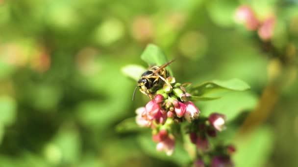 Nahaufnahme einer Wespe auf einer rosafarbenen Blume mit grünem Hintergrund
