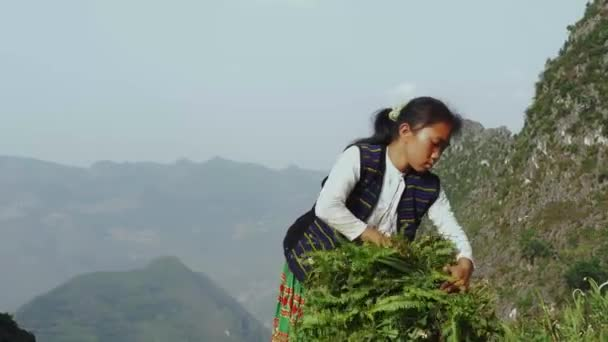 Young Vietnamese Girl Harvesting Crop High In The Mountains