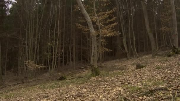 Bare trees of Hoia Baciu forest in autumn. Leaves cover the ground of this location thought to be haunted and visited by aliens. TILT UP.