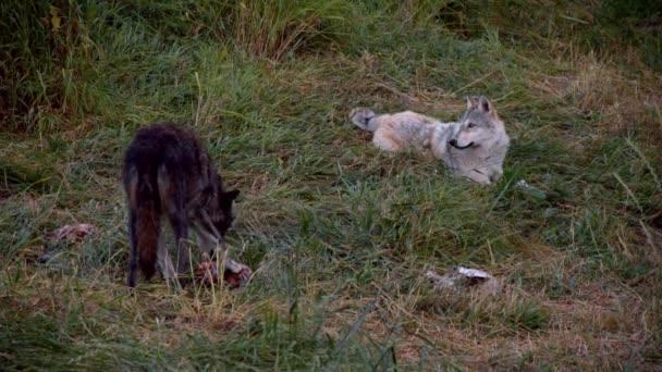 Šedý vlk jménem Koa..