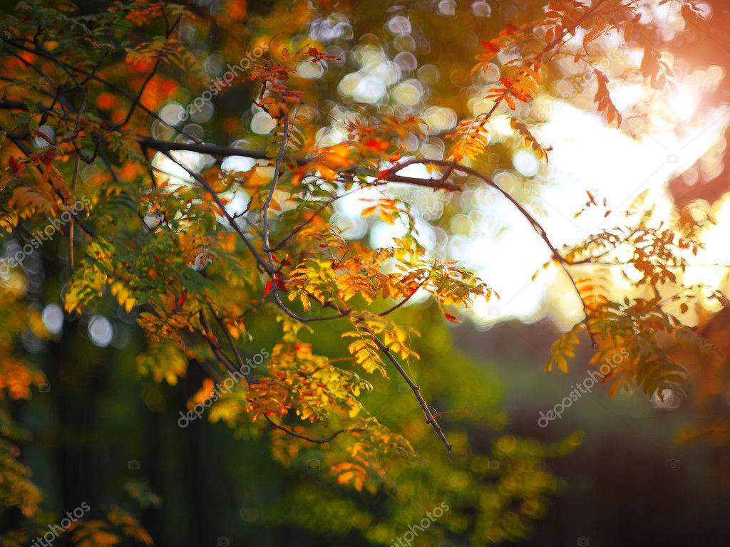 golden rowan tree leaves in the sunlight