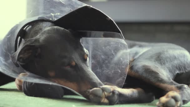 Sad Dog breed Doberman medical collar
