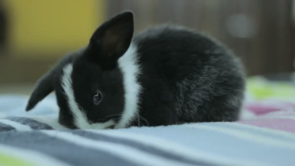 black and white baby bunny, rabbit