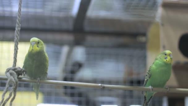 dva papoušci na stromě swing 3