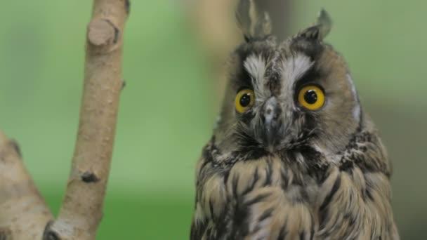 Close-up sova při pohledu na fotoaparát a okolí, zelená klíč