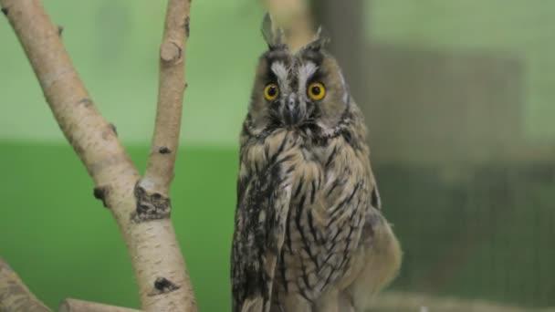 Close-up sova při pohledu na fotoaparát a okolí, zelený klíč 3