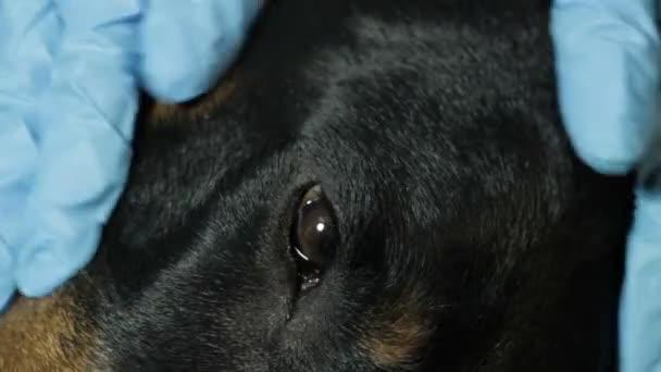 Veterinární lékař hladit pes, Dobrman, zavřu oči