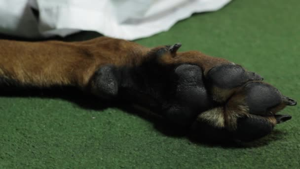 Paw Dog Doberman close up