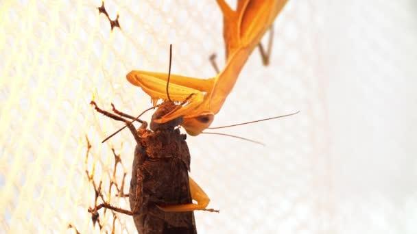 Gelbe Gottesanbeterin sitzt am weißen Netz und frisst die Heuschrecke