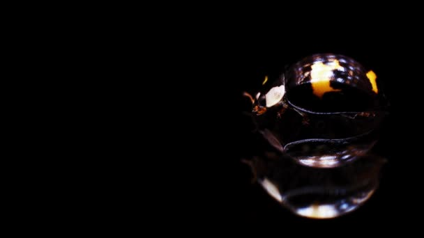 Isolated ladybug on mirror surface sits and moves its jaws and turns his head to camera