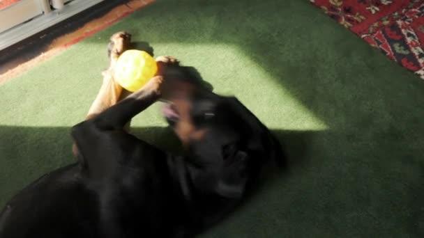 Hei Dobermann Hund