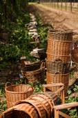 chmelové farmě nedaleko Žatce