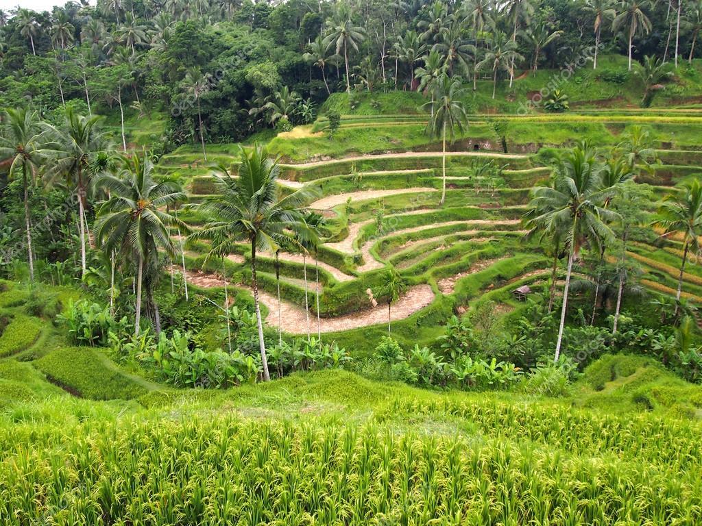 Terrazze Di Riso Terrazze Verde Bali Indonesia Foto
