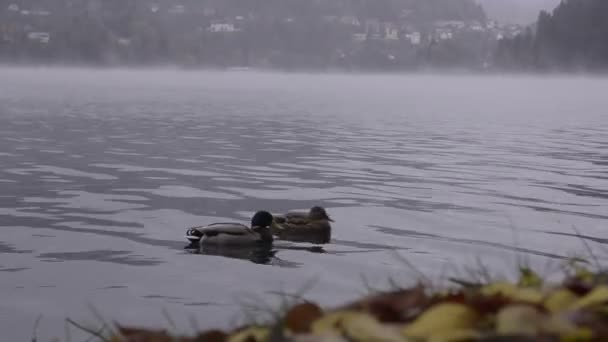 Bled lake. View of the village. Fog. Ducks