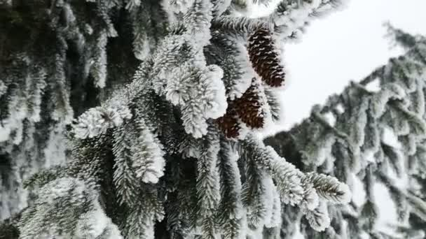 Borovice. Zimní krajina s sníh v horách Karpat