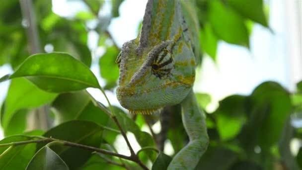 chameleone