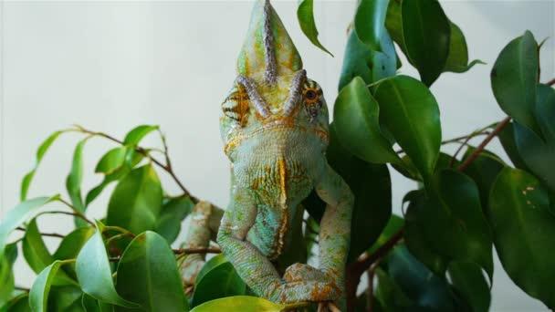 Chameleon schovává v listí