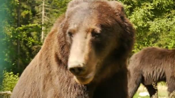 A nagy barna medve közelről