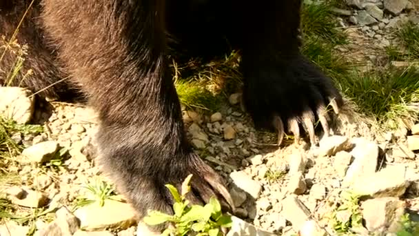 Huge brown bear paws closeup