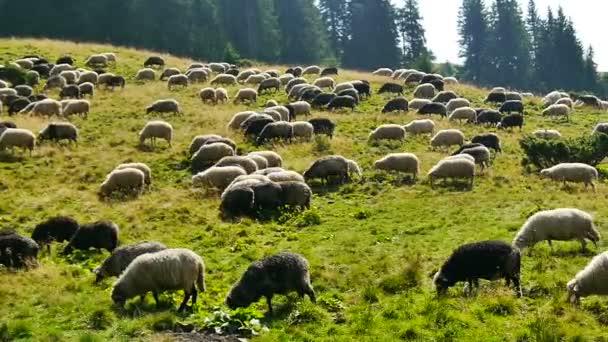 Pasoucí stáda ovcí
