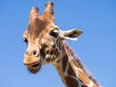 žirafa proti modré obloze