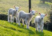 primavera agnelli