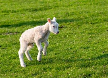Gambolling lamb
