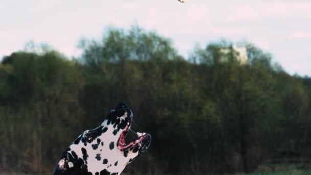 Dalmatiner fangen Nahrung