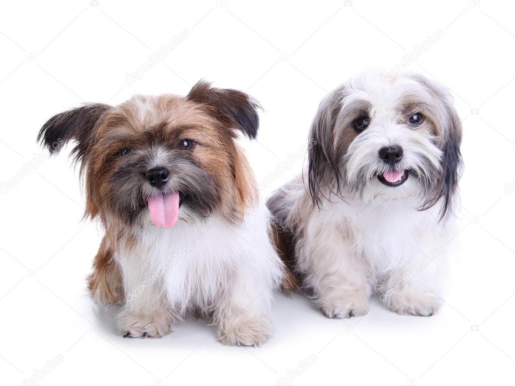 Cute Shih Tzu Puppies Wallpaper Cute Puppies Couple Smiling And Sitting On The Floor Stock Photo C Pepscostudio 116781746